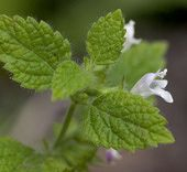 Herbs for Herbal Smoke Blends,  Mullein. Raspberry leaf, Marshmallow, Catnip, Sage (all varieties), lemon balm, chamomile, lavender, yarrow.