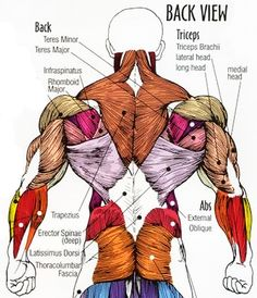 Upper Back Muscles Anatomy   Cea1.com – Human Body Anatomy