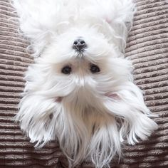 Maltese and Children: Is It a Good Combination - Champion Dogs Cute Puppies, Cute Dogs, Dogs And Puppies, Doggies, Perros French Poodle, Le Terrier, Baby Animals, Cute Animals, Maltese Dogs