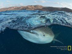 Tubarão-baleia nos mares da Arábia