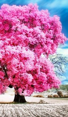What tree is that ! Pink Trees, Colorful Trees, Beautiful Landscapes, Beautiful Gardens, Unique Trees, Blossom Trees, Nature Tree, Tree Forest, Belleza Natural