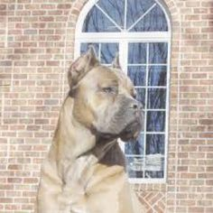 Beautiful Cane Corso Cane Corso Mastiff, Real Dog, War Dogs, Pet Id, Working Dogs, Beautiful Dogs, Mans Best Friend, Animals And Pets, Best Dogs
