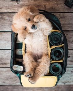 Golden retriever türü köpekler dünyanın en saf hayvanları olarak görülüyorlar. Onların arkadaş canlısı olduklarını, herkesi sevdiklerini ve inanılmaz tatlı göründüklerini artık herkes biliyor. Hatta, bir köpek sahibi olmak ile bir golden retriever sahibi olmak farklıdır diyenler bile var. Yavruları İnanılmaz Tatlı Bu sevimli köpeklerin yavruları da elbette inanılmaz derecede tatlı oluyorlar. Bunu kanıtlamak için dünyanın …