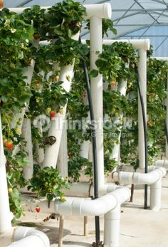 Stock Photo : Hydroponically Grown Strawberry Vines
