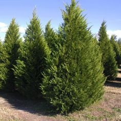Leyland Cypress Shrubs For Privacy, Privacy Trees, Long Blooming Perennials, Shade Perennials, Monterey Cypress, Deer Resistant Perennials, Fast Growing Evergreens, Cypress Trees, Evergreen Trees