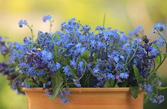 forget-me-nots ~ one of my favorites