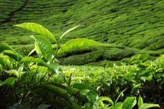 Camellia Sinensis - The Tea Plant