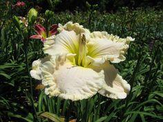 Taglilie, daylily, Hemerocallis  SuperMoon