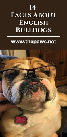 English Bulldogs are soft yet stubborn, playful yet lazy, reserved yet affectionate and tread a fine line between being a coward and a bit of a daredevil? English Bulldogs, Daredevil, Cute Dogs, Lazy, Facts, Make It Yourself, Sayings, Animals, Animales