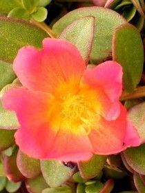 Flor da planta Onze Horas