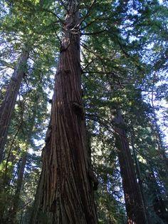 As sequoias do Redwoods National Park, veja o relato de Anderson Testi sobre este local no TrekkingBrasil.com