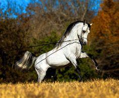 Naadir KA [Makhnificent KA x Isabella KA] 2011 Grey Stallion Dahman Shahwan Kehilan Arabians