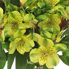 Apple Yellow Peruvian Lilies