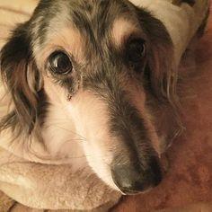 大好き❤ 毎日かわいい♡親バカ おやすみなさい #ワンコの病気 #わんこごはん#手作り ★★★ダックス好きのかた↓↓ #無条件にダックスが好き ↑ダックス大好きの方タグ付けぜひお願いしますo(^_-)O #多頭飼い#トリミング#トリマー #愛犬#愛犬家#だっくす#ダックス#ダップル#みにちゅあだっくす#ミニチュアダックスフント#わんこ#犬#わんこ#ドッグ#doglove #dog#ヨーキー#犬服#