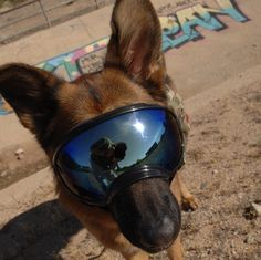 Mauser looking bad-ass in his Rex Spec's goggles. #uspalm #cynologywarlabs #dog #gsd #madeintheusa