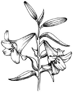 To draw a lily, examine the illustration of the lily before proceeding to step 1.