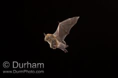 Ever seen a pregnant bat in the wild? A pregnant female northern long-eared myotis (Myotis septentrionalis) photographed in the Cherokee National Forest, Tennessee.