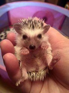 Baby hedgehog #babyhedgehogs