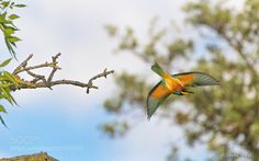 Bee-eaters Abejaruco (Merops apiaster) by javiervidalphotography via http://ift.tt/22JADl2