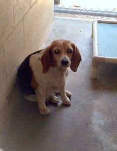 97 Best Beagles Us Lost Dog Registry Images Losing A Dog Beagle