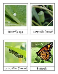 Observe and describe major stages in the life cycles of plants and animals, including beans and butterflies. Observe the life cycle of a butterfly. Montessori Science, Kindergarten Science, Science Classroom, Teaching Science, Science Activities, Sequencing Activities, Teaching Ideas, Stages Of A Butterfly, Butterfly Life Cycle