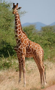 ☀Meru Reticulated giraffe by Austin-Lehman Adventures on Flickr*
