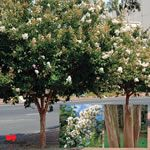 Crepe Myrtle (Lagerstroemia) make ideal flowering Tree in Australian heat. Indian Summer Crepe Myrtles & smaller Symphony of Colour by Chopin Crepe Myrtles Deciduous Trees, Trees And Shrubs, Flowering Trees, Trees To Plant, Small Trees For Garden, Garden Trees, Garden Plants, Crepe Myrtle Trees, Lagerstroemia