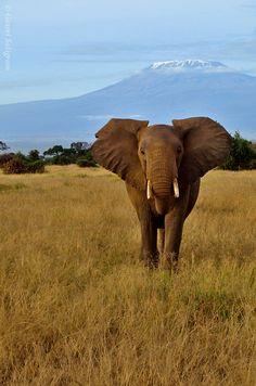 Amboseli National Park (Mt Kilimanjaro in the background), Kenya, East Africa