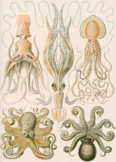 'Gamochonia' [octopus and squid] by Adolf Giltsch - print