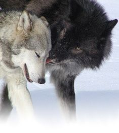 Google Image Result for http://www.northernlightswildlife.com/images/wolves.jpg
