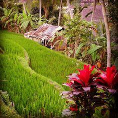 Rice terrace, Ubud