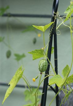 Melon Cucamelon Mouse Melon by Botanical Interests (heirloom seeds, organic seeds): https://www.botanicalinterests.com/