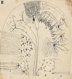 Ramon y Cajal drawing