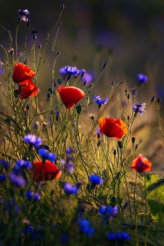 Poppies and cornflowers in wheat field against the tvening sun