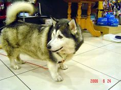Im sorry, I just think this is funny.  It's a corgi  husky mix.  Its body just looks sooo weird...  but in someway its very cute.  :)