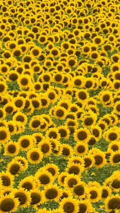 Image in Landscape collection by Pearl Aranda Flor Iphone Wallpaper, Sunflower Iphone Wallpaper, Cute Wallpaper Backgrounds, Cute Wallpapers, Sunflower Fields, Sunflower Art, Field Of Sunflowers, Yellow Aesthetic Pastel, Flower Aesthetic
