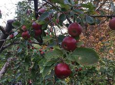 Last apples? In November! - Le ultime mele? A novembre!
