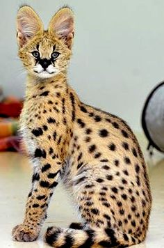 Young African Serval.. Servals are the coolest, I will own one before I die!