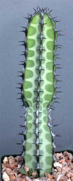 Euphorbia Fabiana