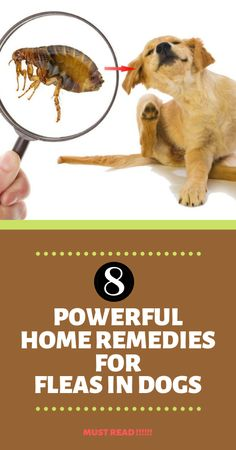 Home Remedies For Fleas On Dogs Pets| The truth is that there is more to eradicating the flea population than applying a product on your pet. There are several issues you need to take into consideration before ridding your pet, and possibly your home, of fleas.  home remedies For Fleas On Dogs| home remedies For Fleas On Cats| home remedies For Fleas In House| home remedies For Fleas Hair Growth| home remedies For Fleas People|