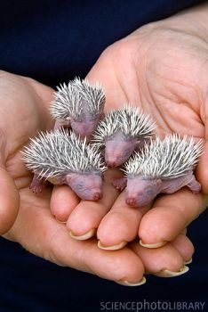 Four baby hedgehogs, no older than 24 hours, held in hand at the Gower Bird Hospital, South Wales, UK. Gower Bird Hospital cares for injured and orphaned birds and small mammals until they're ready to be returned to the wild. Cute Baby Animals, Animals And Pets, Funny Animals, Beautiful Creatures, Animals Beautiful, Beautiful Babies, Tier Fotos, My Animal, Cute Hedgehog
