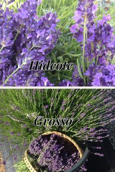 What Varieties of Lavender Do You Have On Your Farm? Lavender Varieties, Spanish Lavender, Plants, Plant, Planets