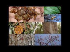 Medicinal Rice P5O Formulations for Cissampelopsis Excess: Pankaj Oudhia...