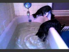 Pixie Bob cats vs bath tub 1a - YouTube
