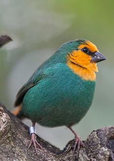 Sea green parrot finch, Southeast Asia to new Guinea ,Northern Australia & many Pacific islands. They inhabit forests,bamboo thickets, grassland & some can be found in man-made habitats. Kinds Of Birds, All Birds, Little Birds, Love Birds, Most Beautiful Birds, Pretty Birds, Exotic Birds, Colorful Birds, Green Birds