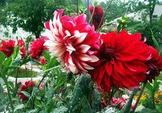 Dahlias - Nainital by Naveen Joshi Nainital, Dahlias, Mother Nature, Lush, Most Beautiful, Plants, Beauty, Dahlia, Dahlia Flower