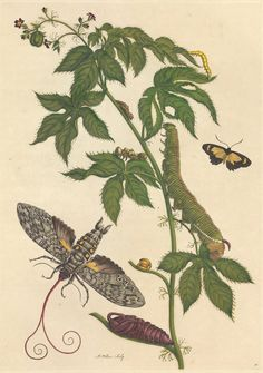 Maria Sibylla Merian captivated Europeans with her studies of insects, only to later have her work largely dismissed. Now, her findings are being celebrated again.