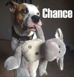 Chance the adorable pitbull shows us his fav toy after healing his nasty rash…