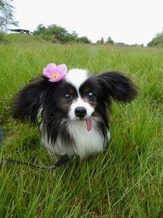 Jay, the Papillon Cute Animal Pictures, Puppy Pictures, Dog Photos, Puppy Pics, Animal Pics, Tame Animals, Cutest Dog Ever, Lovely Creatures, Dog Years