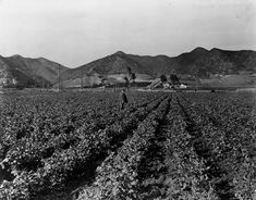 (1901) - A man walks through a sweet pea field located at about Fairfax and Sunset, in West Hollywood.